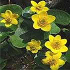 Caltha palustris or marsh marigold