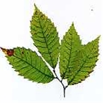 Castanea sativa or sweet chestnut