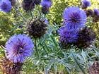 cardoon (Cynara cardunculus), also called the artichoke thistle