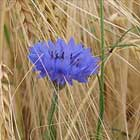 Centaurea or corn flower
