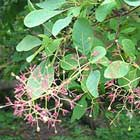 Cotinus or Smoke tree
