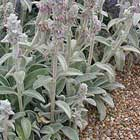 Stachys or Lamb's ear