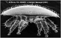 Electron pictures of Varroa mite